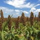 Pesticide receives emergency exemption status to control sugarcane aphid in sweet sorghum