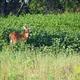 It's peak season for deer encounters