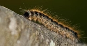 Eastern tent caterpillars now on the move in Central Kentucky