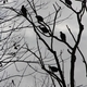 Black buzzards causing a buzz
