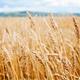 New web site defends GMOs