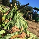Kentucky Tobacco Still No.1 for Some Farm Families