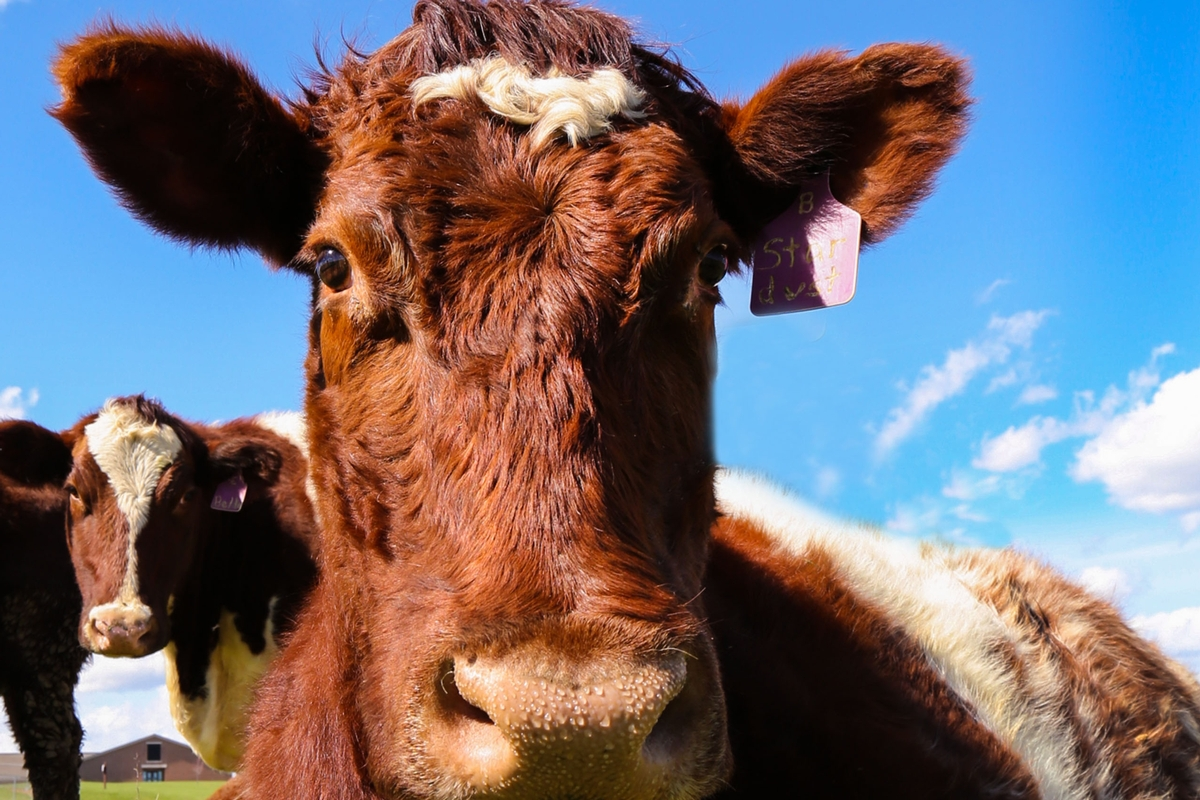 For Cattle Producers, Kentucky is Cow Country