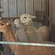 """Shear"" business... It's harvest season at alpaca farm"