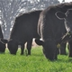 UK researchers study the effects of grazing wheat in winter
