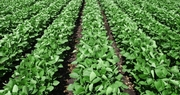 Kentucky on Trend for Record Soybean Harvest